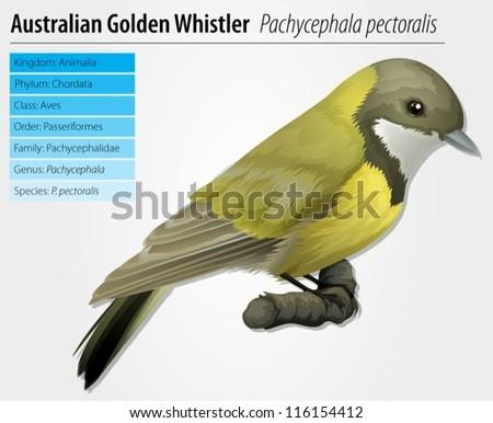 Illustration of golden whistler - Pachycephala pectoralis - stock vector