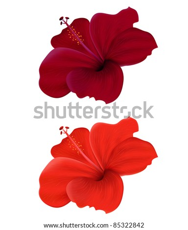 Illustration of  hibiscus isolated on white background
