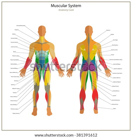 Illustration of human muscles. Exercise and anatomy guide. Front and rear view.  - stock vector