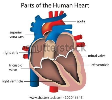 Illustration parts heart em vetor stock 102046645 shutterstock illustration of parts of the heart ccuart Images