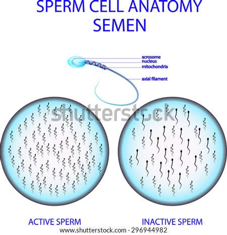 ILLUSTRATION OF SPERM CELL ANATOMY. SEMEN - stock vector