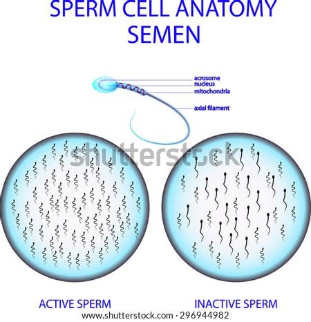 Illustration Sperm Cell Anatomy Semen Stock Vector Royalty Free