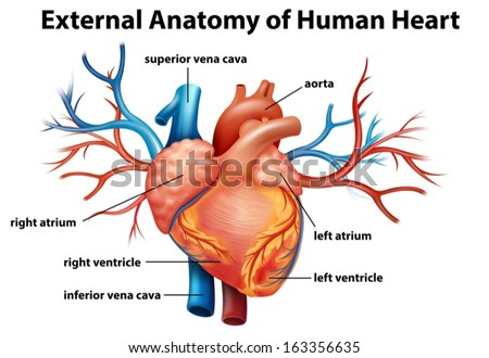 Illustration Anatomy Human Heart On White Stock Photo Photo Vector
