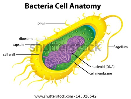 Illustration of the bacteria cell structure - stock vector