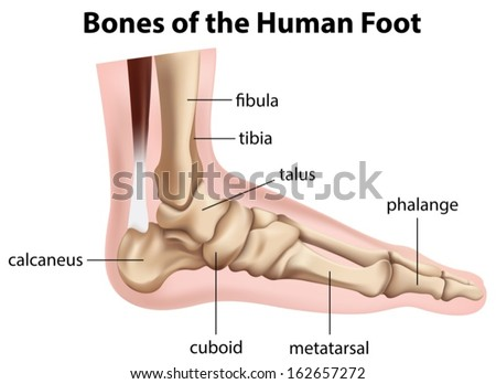 bones foot labeled stock illustration 155445662 - shutterstock, Cephalic Vein