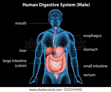 Illustration of the human digestive system - stock vector