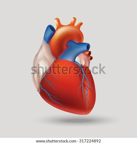 Illustration of the human heart (hollow muscular organ that pumps the blood through the circulatory system by rhythmic contraction and dilation). Light background. - stock vector