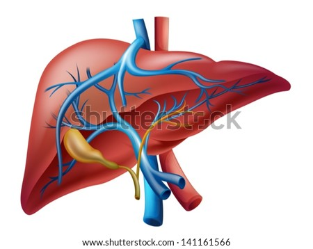 Illustration of the human internal liver - stock vector
