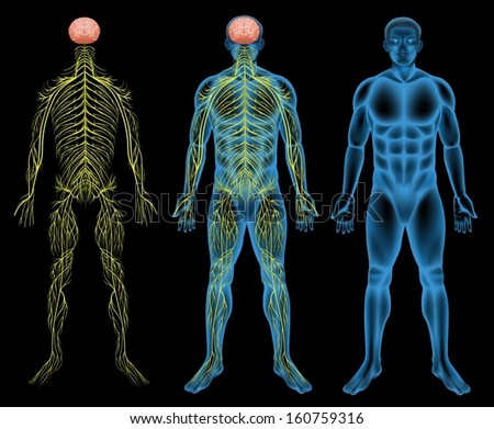 Illustration of the male nervous system - stock vector
