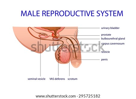 Illustration Male Reproductive System Prostate Testicles Stock