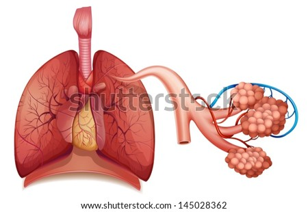 Illustration of the respiratory system - stock vector