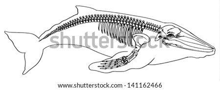Illustration of the skeleton of a whale - stock vector