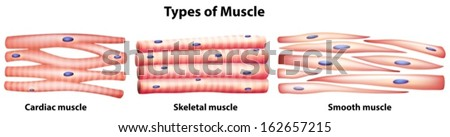 Illustration types muscles on white background stock vector illustration of the types of muscles on a white background ccuart Choice Image