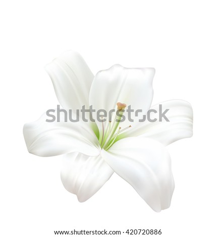 Illustration Photo-realistic Beautiful White Lily Isolated On White Background - Vector - stock vector