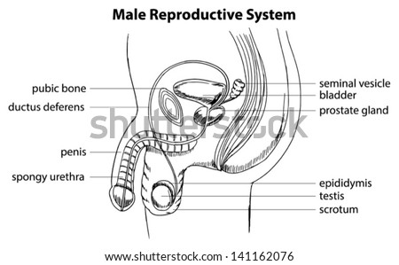 male reproductive system stock photos  images   u0026 pictures