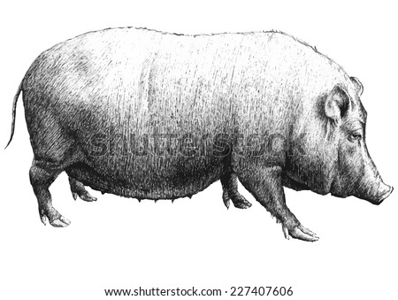 illustration with a large pig (hand draw)  - stock vector