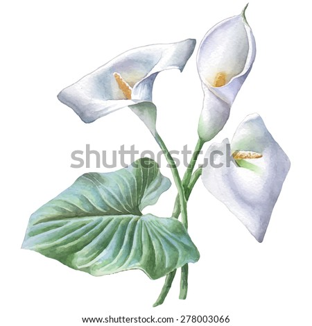 Illustration with calla. Watercolor. Vector. Hand drawn. - stock vector