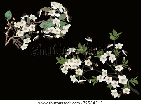 illustration with cherry tree flowers on black background - stock vector