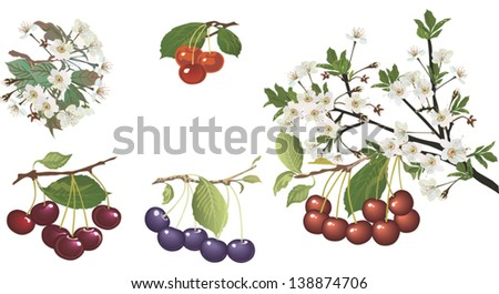 illustration with collection of ripe red cherries and flowers isolated on white background