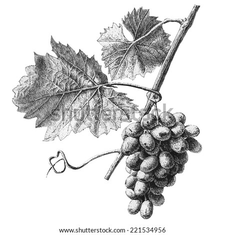 Illustration with grapes and leaves on a light background - stock vector