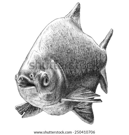 illustration with realistic fish.Tambaqui. Hand drawn.