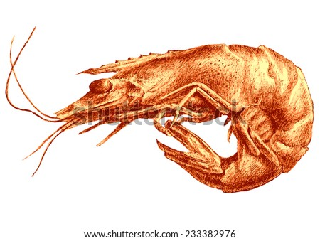 Illustration with shrimp. Hand draw. - stock vector