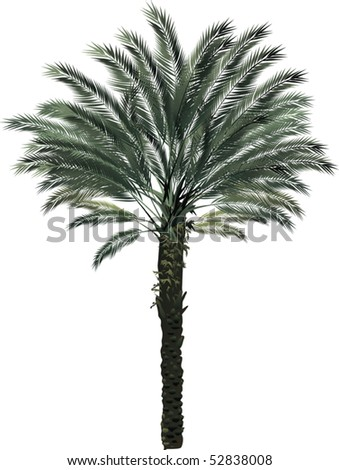 illustration with single palm tree isolated on white background - stock vector