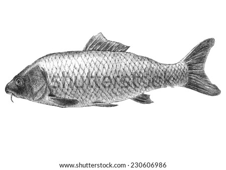 illustration with two realistic pike. Hand draw illustration - stock vector