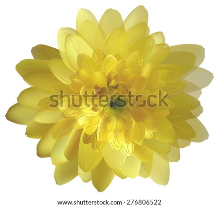 illustration with yellow chrysanthemum isolated on white background - stock vector