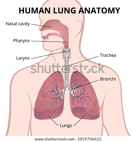 Image Anatomy Lungs Location Internal Organs Stock Vector 1059706625 ...