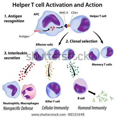 Immune system basics: Functions of T-helper cells