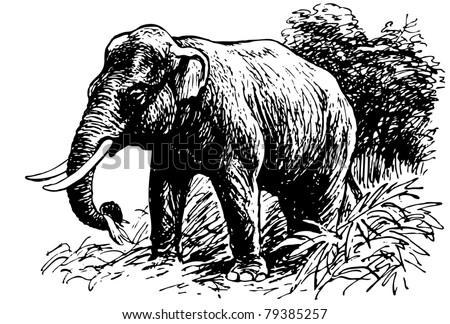 Indian Elephant - stock vector