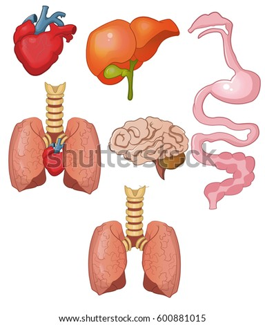 Picture of internal stomach organs
