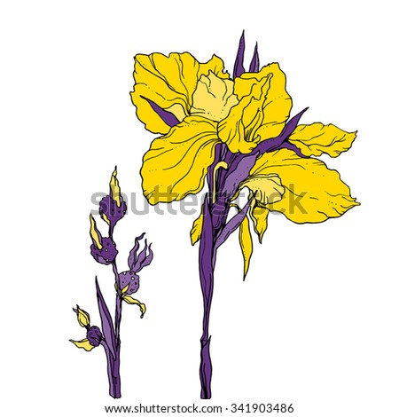 Iris flower for wedding printing products: cards, invitations, menu, gifts. Yellow hand drawn flower on white background. Botanical illustration.  - stock vector