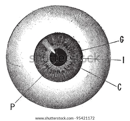 Iris, vintage engraved illustration. Human eye. Dictionary of words and things - Larive and Fleury - 1895. - stock vector
