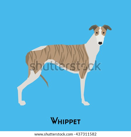 Isolated cute Whippet on a blue background