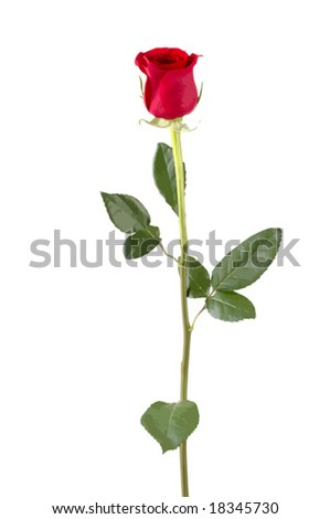 Isolated long stem red rose bud. VECTOR.