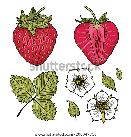 Isolated strawberries. Graphic stylized drawing. Vector illustration.  - stock vector