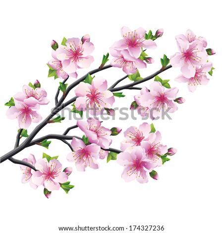 Japanese tree sakura, pink cherry blossom isolated on white background. Vector illustration - stock vector