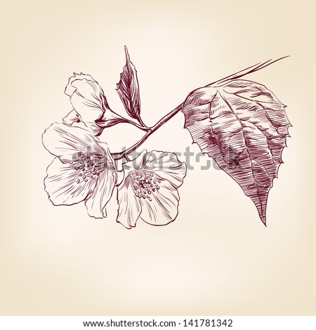 Jasmine hand drawn vector llustration realistic sketch - stock vector