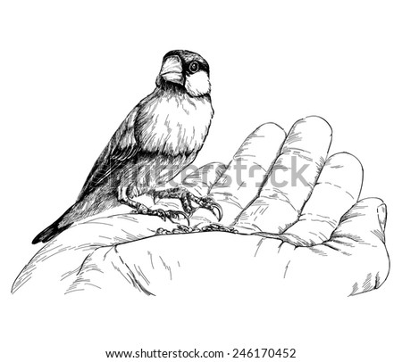 Java Sparrow / Padda oryzivora / sitting on hand. isolated on white - stock vector
