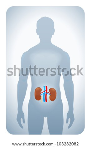 kidneys highlighted on the silhouette of a man - stock vector