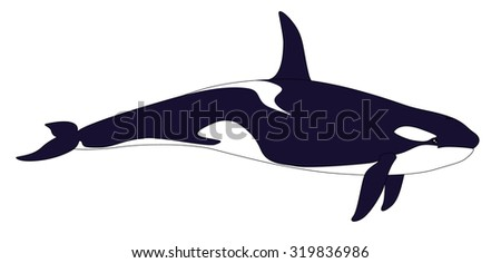 Killer whale. Realistic grampus isolated on a white background. Orcinus orca. Vector illustration. - stock vector