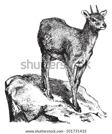 Klipspringer (Oreotragus oreotragus) / vintage illustration from Brockhaus Konversations-Lexikon 1908 - stock vector
