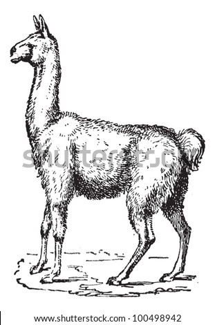 Lama, vintage engraved illustration. Dictionary of words and things - Larive and Fleury - 1895. - stock vector