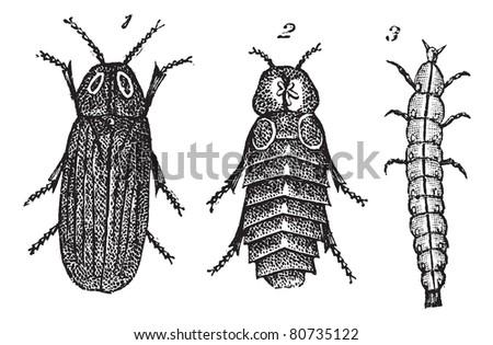 Lampyris splendidule (Lampyris splendidula) vintage engraving. Old engraved illustration of Lampyris splendidule (Lampyris splendidula) 1. male 2. female 3. larva.  Trousset encyclopedia (1886 - 1891) - stock vector