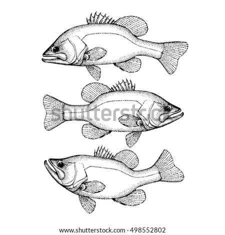 largemouth bass fish hand drawn outline illustration bass fish in different pose vector isolated