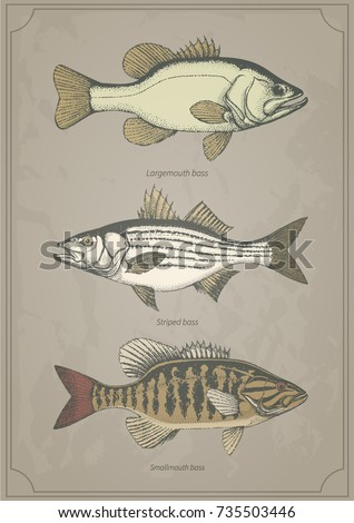 Largemouth Bass Fish Stock Images Royalty Free Images