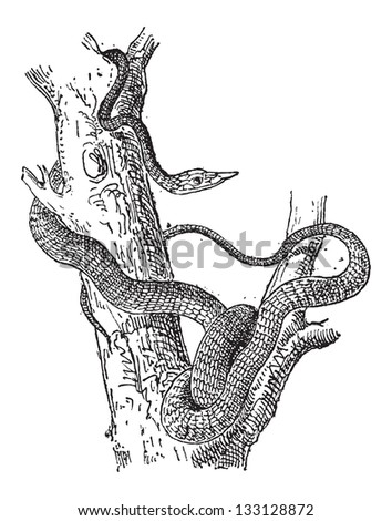 Largenose Earth Snake or Conopsis nasus, vintage engraved illustration. Dictionary of Words and Things - Larive and Fleury - 1895 - stock vector