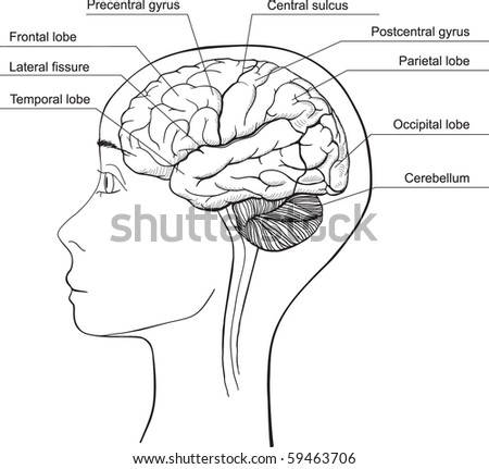 Lateral aspect of the Human Brian - stock vector